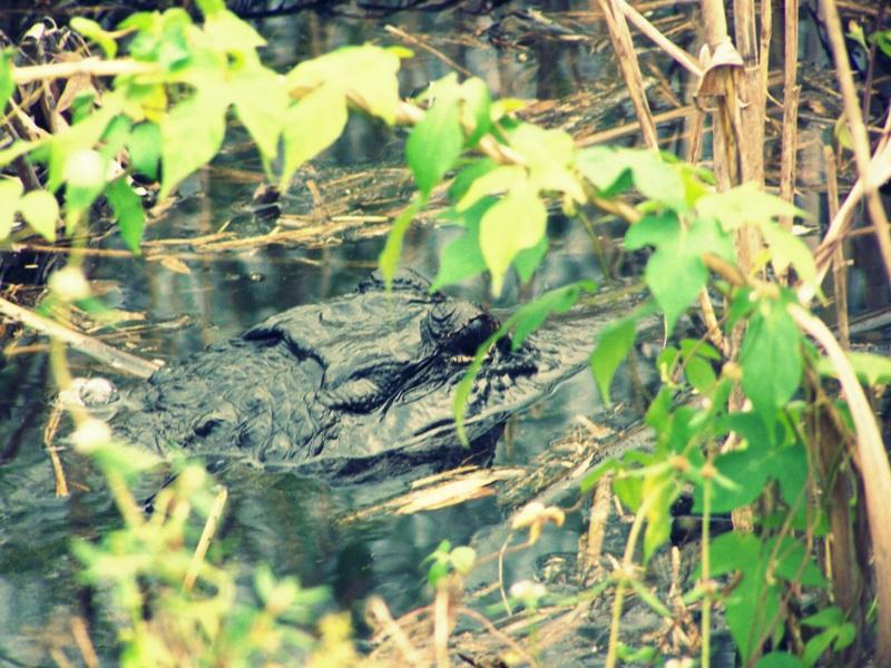 Alligator is watching you. Wo ihr in Florida wirklich freilebende Raubtiere beobachten könnt!