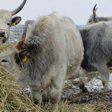 Abenteuer Safari: Der Burgenland-Winter am Neusiedlersee