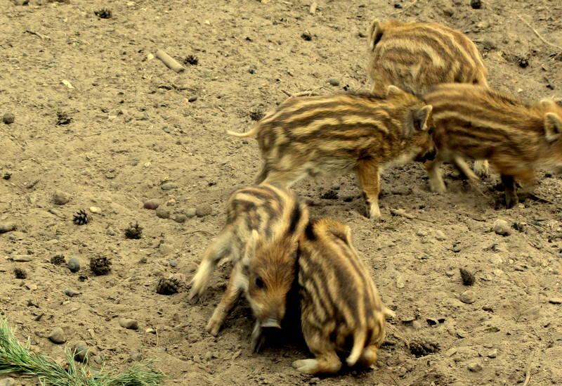 Happy Wildschweine