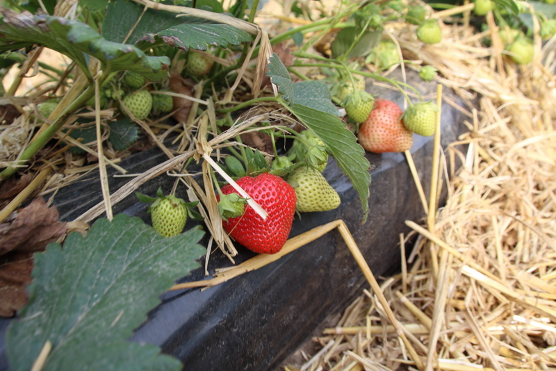 Erdbeer 2 spargelhof poen uedem