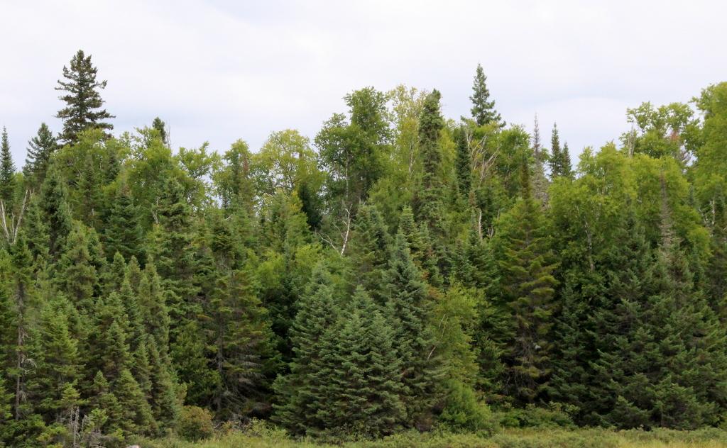 Naturerlebnis zur Weihnachtszeit: Tannenbaum schlagen