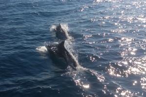 Delfine-vor-Elba