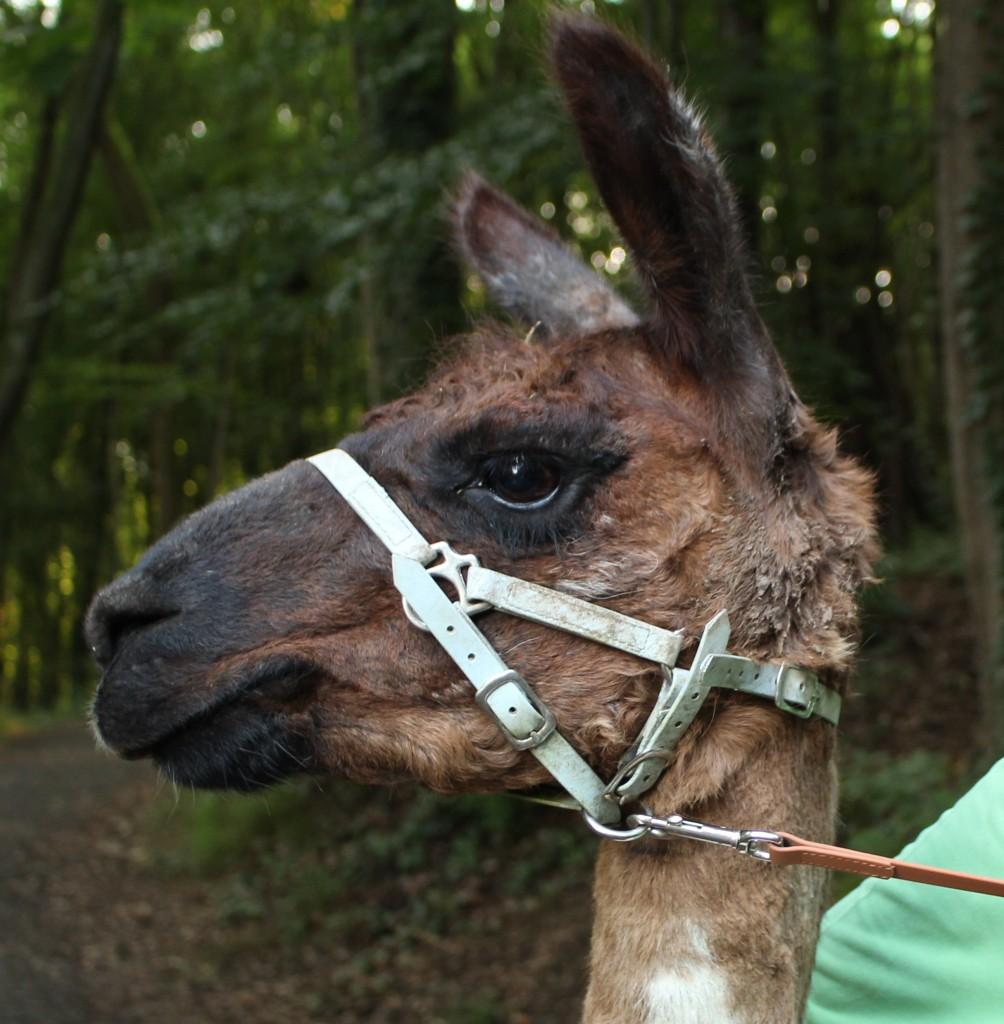 Ein Spaziergang mit Lamas: Hier wird nicht gespuckt!