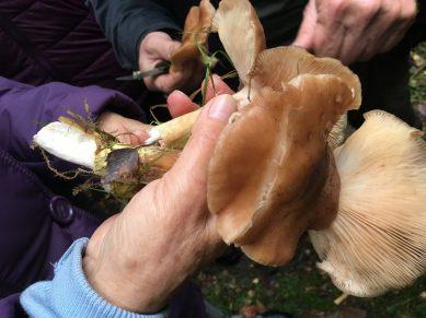 Von Morcheln und Bovisten - eine Pilzwanderung durch Binzer Wälder