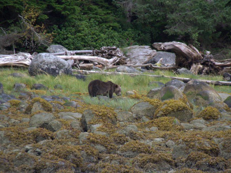 Grizzlybären auf Futtersuche