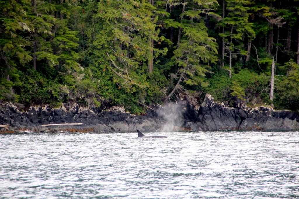 wale-baeren-seehunde-vancouver-island-24