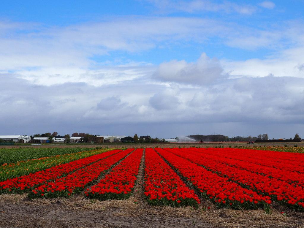Tulpen erleben abseits vom keukenhof b ren blumen for Fliegen in blumen