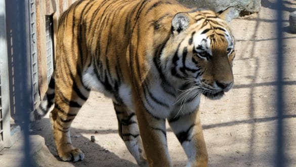 Tiger Diego