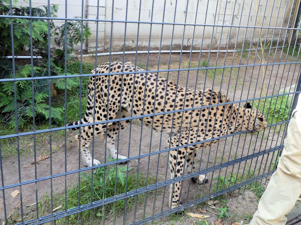 Gepard will schmusen
