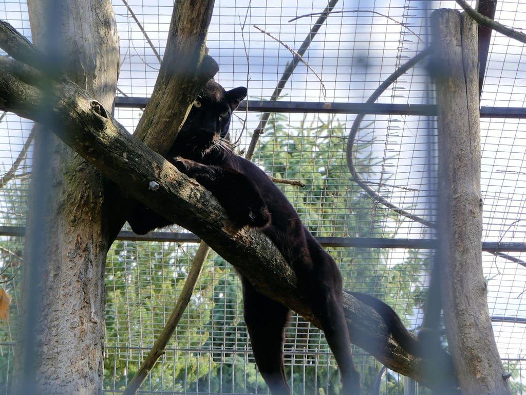 Felidae - Panther