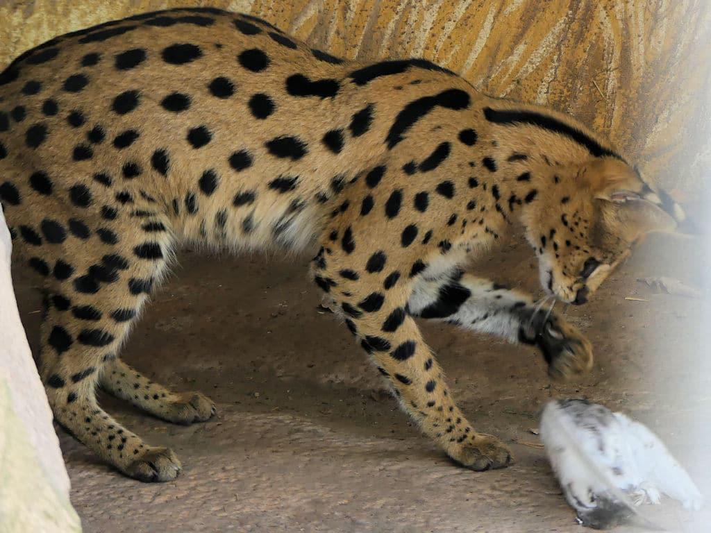 Wildkatzen hautnah in Brandenburg erleben