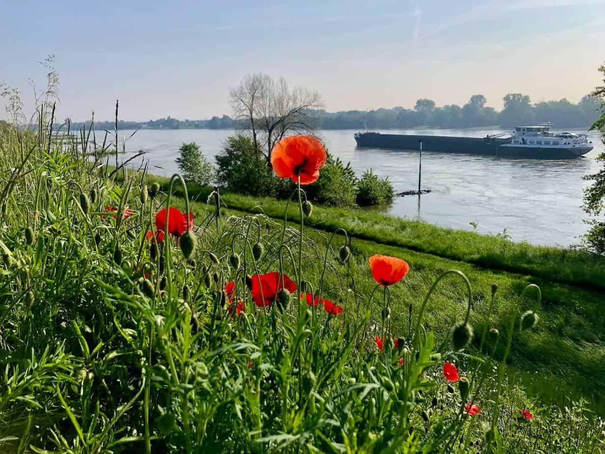 Neuss Üdesheim - Mohnblumen am Rhein