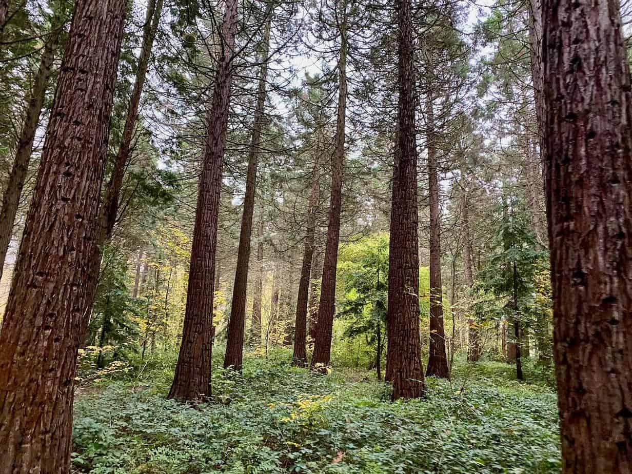 Mammutbäume in Deutschland