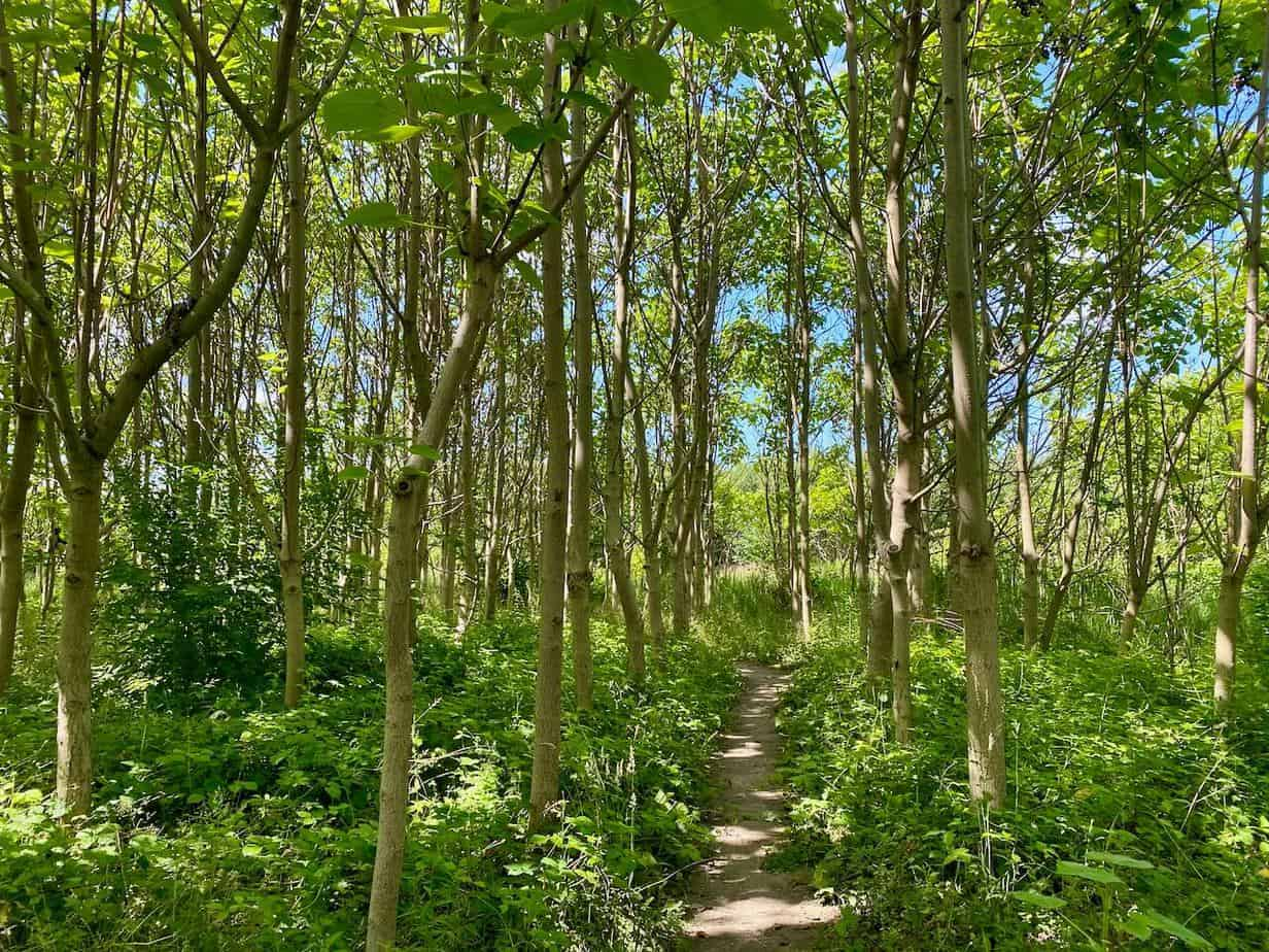 Spaziergang durch einen Blauglockenbaum-Wald