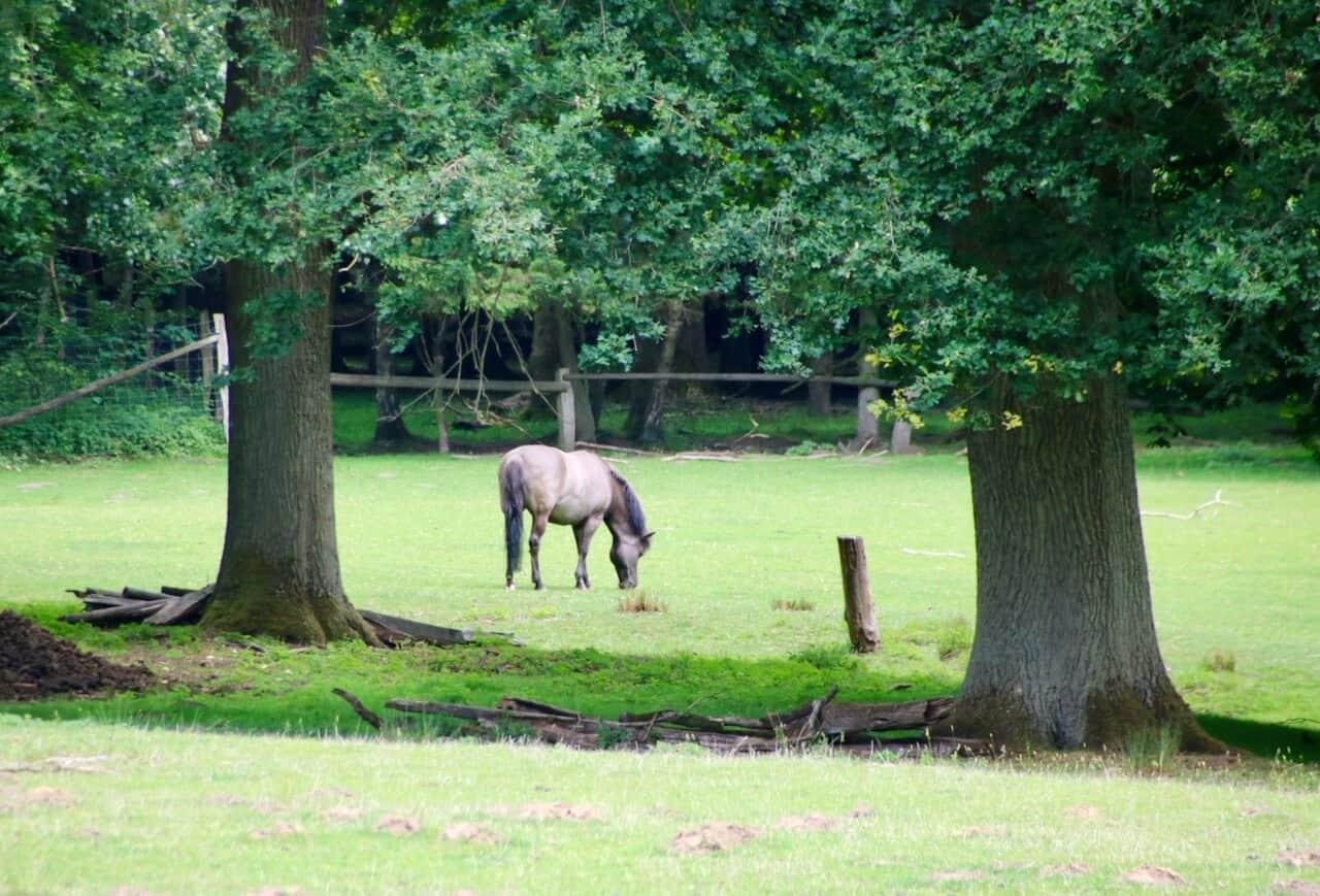 Einsames Wildpferd im Wildpark Dülmen